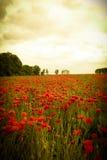 Landskap av det romantiska vallmofältet med röda vildblommor Royaltyfri Foto