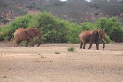 Landskap av elefanter i det l?st royaltyfria foton