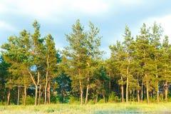 Landskap av en pinjeskog, h?gv?xta h?rliga tr?d royaltyfri fotografi