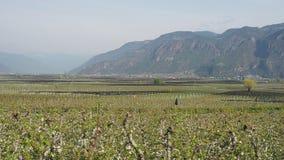 Landskap av fruktkolonier i Trentino Alto Adige, Italien Fj?dra den tid? ron l?mnar, naturlig bakgrund gr?n liggande lager videofilmer