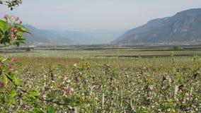 Landskap av fruktkolonier i Trentino Alto Adige, Italien Fj?dra den tid? ron l?mnar, naturlig bakgrund gr?n liggande arkivfilmer