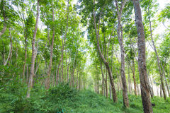 Landskap av gummiträd Arkivbilder
