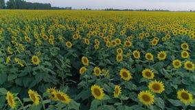 Landskap av härliga fältsolrosor, surrsikt över gula blomningväxter lager videofilmer