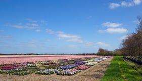 Landskap av hyacintkula-fältet Arkivbild