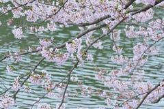 Landskap av japanska vita Cherry Blossoms runt om dammvatten royaltyfri foto