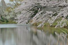 Landskap av japanska vita Cherry Blossoms runt om dammvatten Fotografering för Bildbyråer