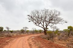 Landskap av Kenya, stort träd vid vägen Royaltyfri Bild
