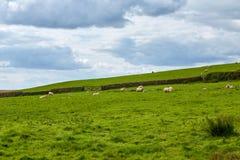 Landskap av lantgården med gruppen av får som äter gräs royaltyfri bild