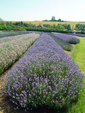 Landskap av lavendel Royaltyfria Bilder
