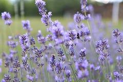 Landskap av lavendelfält i franska Provence i Sault royaltyfri fotografi