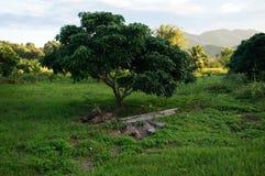 Landskap av longanträdet Royaltyfri Bild