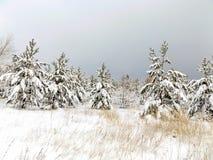 Landskap av pinjeskogar Royaltyfria Bilder