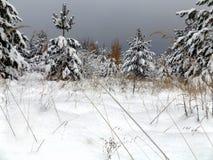 Landskap av pinjeskogar Royaltyfri Fotografi