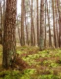 Landskap av pinjeskogen, nordliga Polen royaltyfria bilder