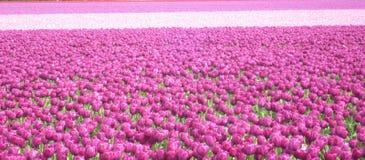 Landskap av purpurfärgade tulpan royaltyfri bild