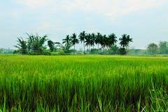 Landskap av risfält Royaltyfri Bild