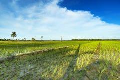 Landskap av risfältet med blå himmel Arkivfoto