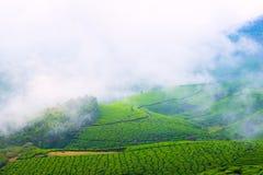 Landskap av tekolonierna med dimma i Indien Arkivbilder