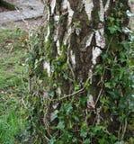 Landskap av trädskället med murgrönan som upp växer dess stam i Loch Lomond, Skottland, Förenade kungariket arkivbilder