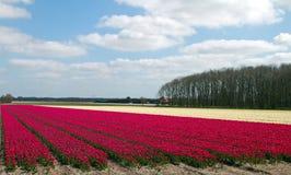 Landskap av tulpankula-fältet Royaltyfria Foton