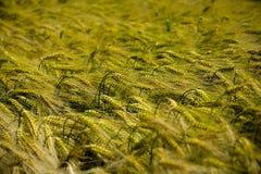 Landskap av vetefält Vetet i Spanien arkivbilder