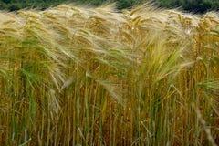 Landskap av vetefält Vetet i Spanien arkivfoton
