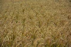 Landskap av vetefält Vetet i Spanien royaltyfri bild