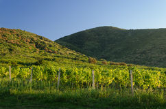 Landskap av vingården med kullar i bakgrunden arkivbild