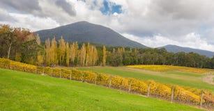 Landskap av vingårdfält i den Yarra dalen, Australien i autum Royaltyfri Bild