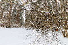 Landskap av vinterpinjeskogen som främst täckas med frost på clo Royaltyfri Foto