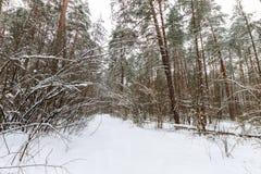 Landskap av vinterpinjeskogen som främst täckas med frost på clo Arkivbild