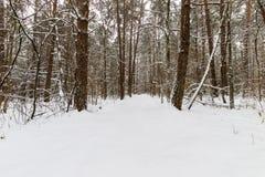 Landskap av vinterpinjeskogen som främst täckas med frost på clo Arkivfoto