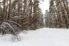 Landskap av vinterpinjeskogen som främst täckas med frost på clo Arkivbilder