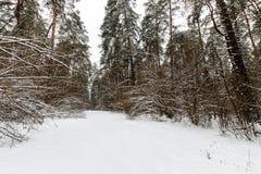 Landskap av vinterpinjeskogen som främst täckas med frost på clo Royaltyfria Bilder