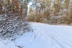 Landskap av vinterpinjeskogen som täckas med frost på solig weat Royaltyfri Fotografi