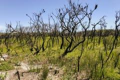 Landskap efter bushfire Booderee nationalpark NSW australasian Royaltyfri Foto