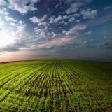 Landskap. Fält av grönt gräs. Moln. Afton. Arkivbilder