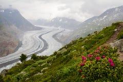 Landskap för Aletsch glaciärrhododendron Royaltyfri Fotografi