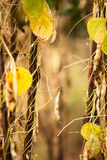 Landskap för gula bönor Royaltyfria Foton