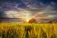 Landskap för himmel för vetefält dramatiskt in mot ljus Royaltyfria Bilder
