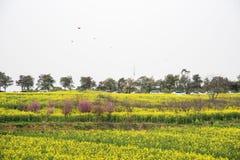 Landskap för internationell långsam canola för stad för Nanjing yaxi jordbruks- herde- royaltyfri fotografi