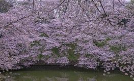 Landskap för körsbärsröda blomningar Fotografering för Bildbyråer
