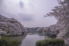 Landskap för körsbärsröda blomningar Arkivbilder