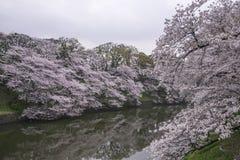 Landskap för körsbärsröda blomningar Arkivfoto