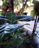 Landskap för kaffe Plant Royaltyfria Bilder