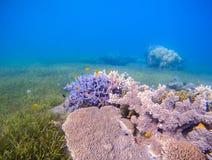Landskap för korallrev med havsgräs Ungt korallbildande i det grunda havet Royaltyfri Bild