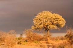 Landskap för träd för akacianigrescensknobthorn Fotografering för Bildbyråer