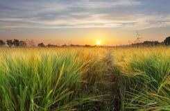 Landskap för vetefält med banan i solnedgångtiden royaltyfri bild