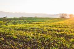 Landskap för vetefält med banan i solnedgångtiden fotografering för bildbyråer