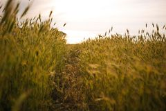 Landskap för vetefält med banan i solnedgångtiden copcept av vägen, frihet, val, harmoni royaltyfri bild